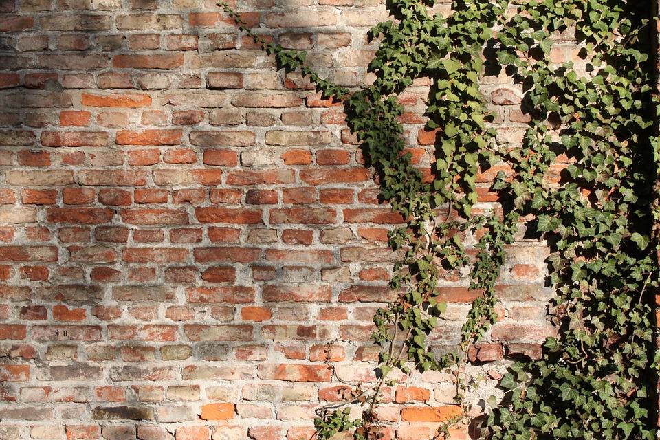 zeď s břečťanem